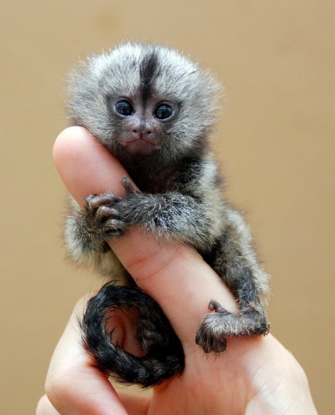 Hey what's the deal with tiny monkeys? OH GOD i'M SUCH A FAILURE